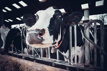 mycotoxins have been found on dairy farms and in cows milk